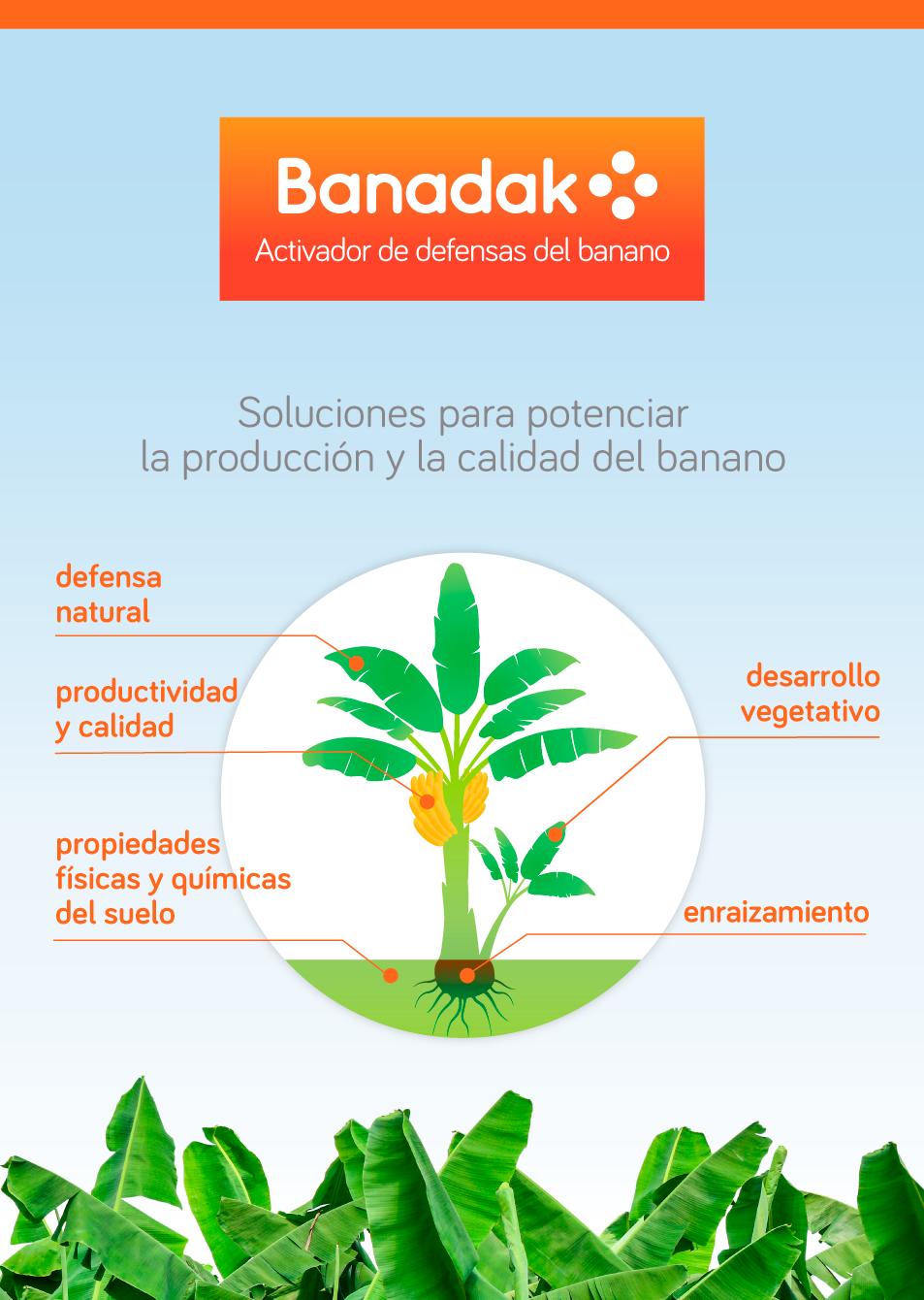Banadak: Soluciones para potenciar la producción y la calidad del banano